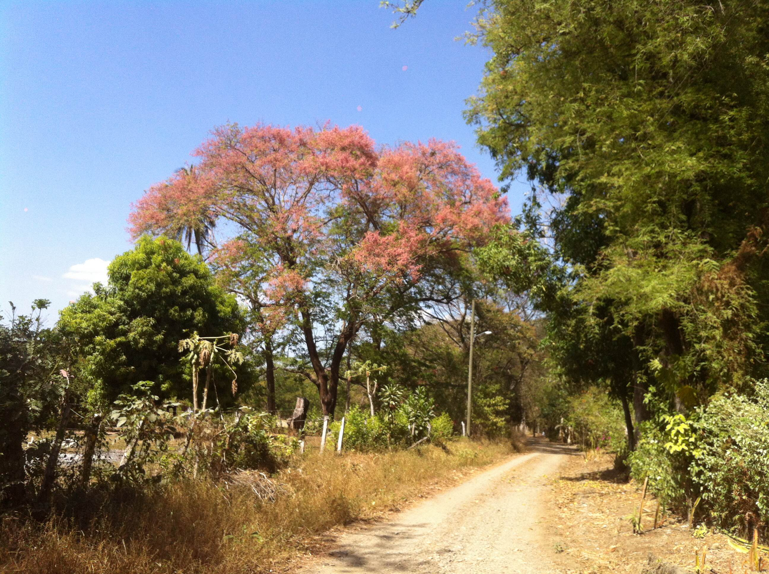 Carao tree in full bloom, late in summer